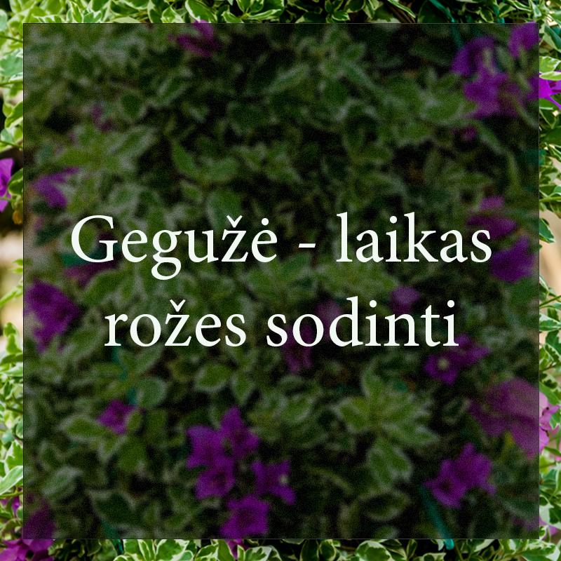 Vybornų medelynas - Gegužė - laikas rožes sodinti