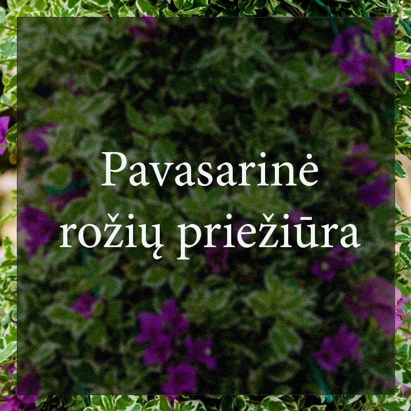 Vybornų medelynas - Pavasarinė rožių priežiūra
