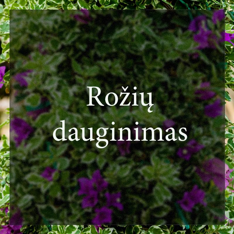 Vybornų medelynas - Rožių dauginimas