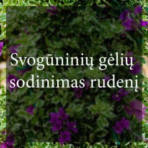 Vybornų medelynas - Svogūninių gėlių sodinimas rudenį